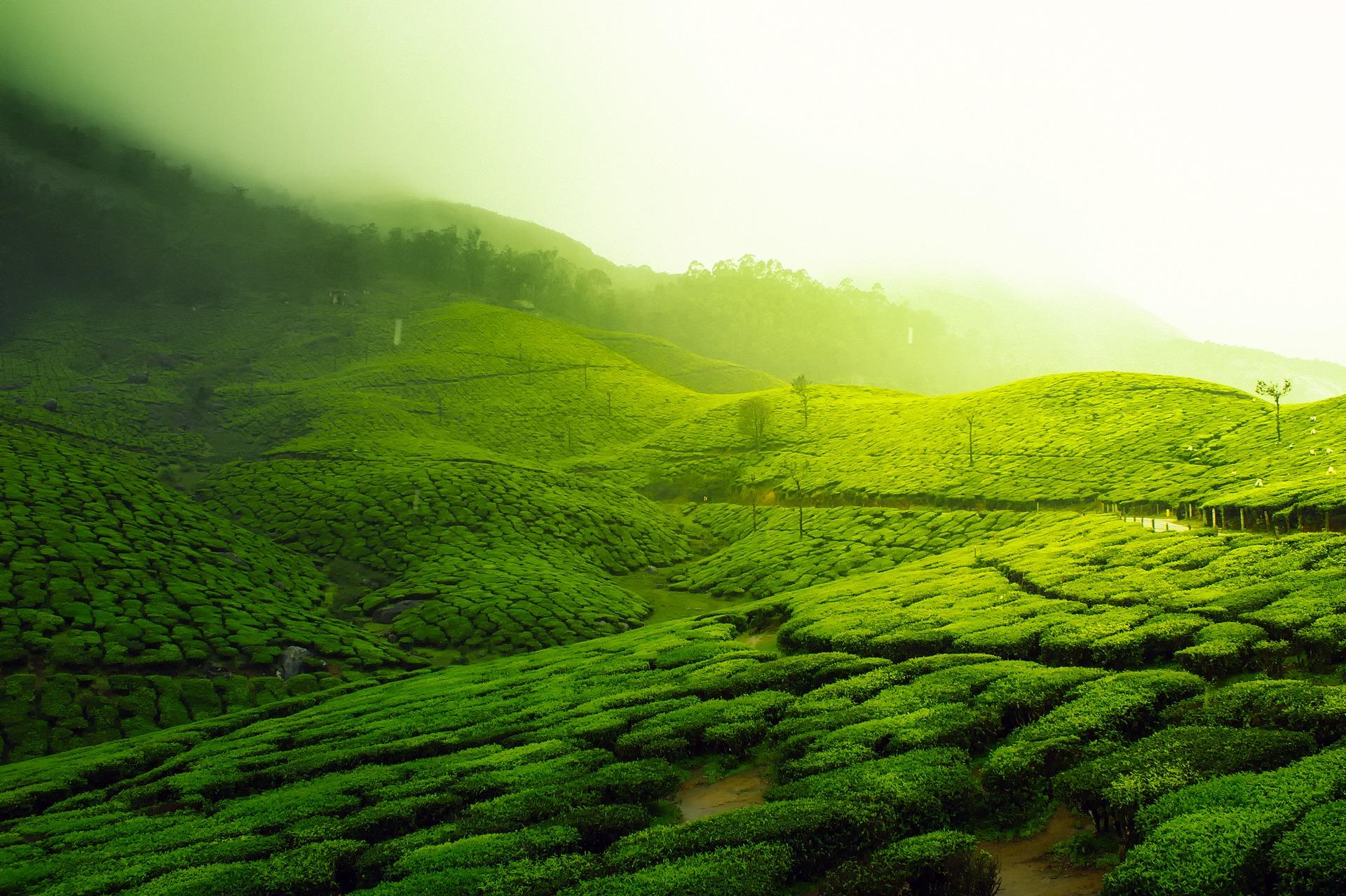 Hintergrundbild - Indisches Teefeld
